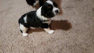 Shiranian Puppy For Sale in ATLANTA, GA, USA