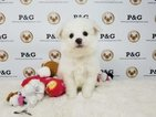 Pomimo Puppy For Sale in TEMPLE CITY, CA, USA