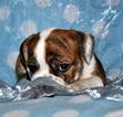 Small #3 Bulldog