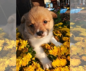 Pembroke Welsh Corgi Puppy for Sale in PEMBROKE, Kentucky USA