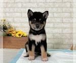 Small #1 Shiba Inu
