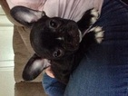 French Bulldog Puppy For Sale in ARLINGTON, VA