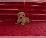 Puppy 3 Goldendoodle (Miniature)