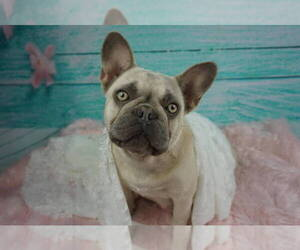 Mother of the French Bulldog puppies born on 01/05/2020