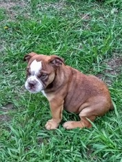 Olde English Bulldogge Puppy For Sale in CIRCLEVILLE, NY, USA