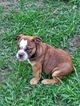 Olde English Bulldogge Puppy For Sale in CIRCLEVILLE, NY,