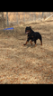 Rottweiler Puppy For Sale in PONTOTOC, MS