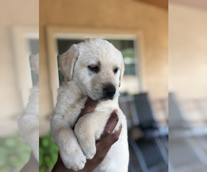 German Shepherd Dog-Labrador Retriever Mix Puppy for sale in STRATHMORE, CA, USA