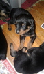 Rottweiler Puppy For Sale in GREENWOOD, SC, USA
