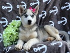 Siberian Husky Puppy For Sale in EAST EARL, Pennsylvania,