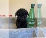 Small #9 Poodle (Miniature)