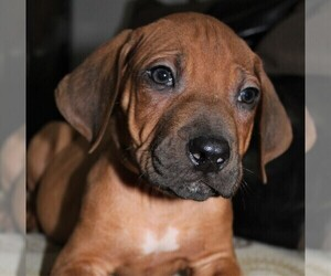 Rhodesian Ridgeback Puppy for Sale in INDEPENDENCE, Missouri USA