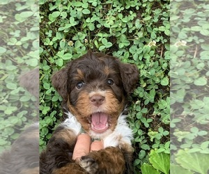 Aussiedoodle Miniature  Puppy for sale in CONCORD, NC, USA
