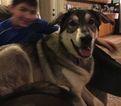 German Shepherd Dog-Labrador Retriever Mix Dog For Adoption near 48165, New Hudson, MI, USA
