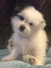 Maltipom Puppy For Sale in MODESTO, CA