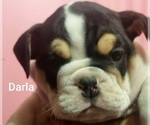 Small #25 English Bulldog