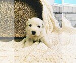 Small #40 Great Pyrenees