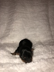 Yorkshire Terrier Puppy For Sale in GREENVILLE, NC, USA