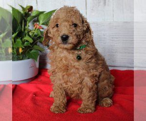Goldendoodle-Poodle (Miniature) Mix Puppy for sale in PARADISE, PA, USA