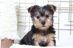 Jack Male Yorkie Puppy