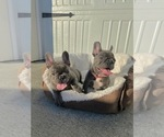 Small Photo #1 French Bulldog Puppy For Sale in CLACKAMAS, OR, USA