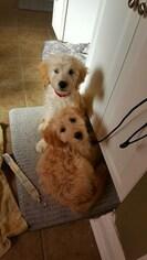 Goldendoodle Puppy for sale in PRAIRIEVILLE, LA, USA