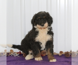 Bernedoodle-Poodle (Standard) Mix Puppy for sale in MANHEIM, PA, USA