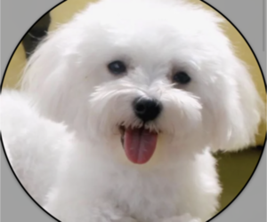 Father of the Maltese puppies born on 09/04/2020