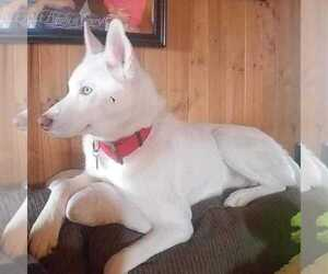 Siberian Husky Dog for Adoption in WORTHINGTON, Pennsylvania USA
