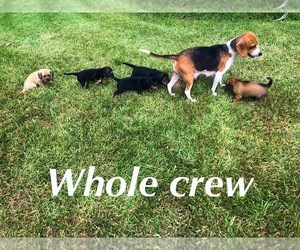 Mother of the Beagle-Unknown Mix puppies born on 08/13/2020