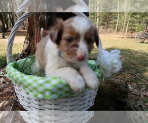 Australian Shepherd Puppy for sale in GRAND HAVEN, MI, USA