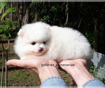 Small #17 Pomeranian