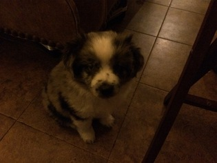 Miniature Australian Shepherd Puppy For Sale in COMANCHE, TX
