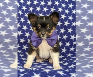 Papillon Puppy for sale in OXFORD, PA, USA