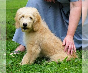 Goldendoodle (Miniature) Dog for Adoption in FREDERICKSBG, Ohio USA