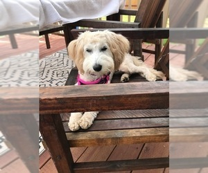 Goldendoodle Dog for Adoption in LAKESIDE, California USA