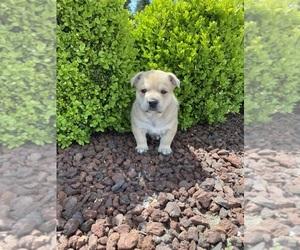 English Bulldog Puppy for sale in COVINGTON, WA, USA