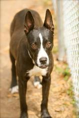 Scarlett - Hound Dog For Adoption