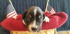 Australian Shepherd Puppy For Sale in WESTMINSTER, Maryland,