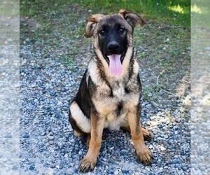 German Shepherd Dog Puppy for Sale in OAKHURST, California USA