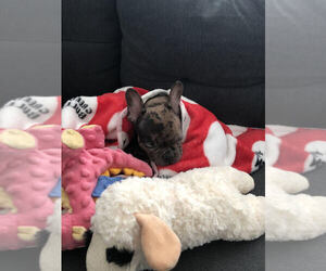 Faux Frenchbo Bulldog Puppy for sale in CHICAGO, IL, USA