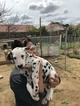 Dalmatian Puppy For Sale in DELANO, CA, USA