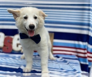 Mutt Puppy for sale in LANCASTER, PA, USA