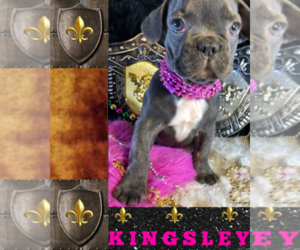 French Bulldog Puppy for Sale in HEATHROW, Florida USA