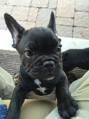 French Bulldog Puppy For Sale in CROWLEY, TX, USA
