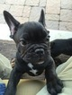 French Bulldog Puppy For Sale in CROWLEY, TX