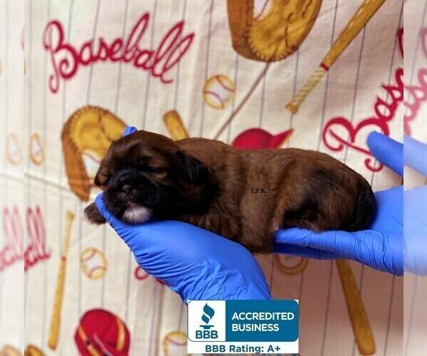 Medium Photo #2 Shih Tzu Puppy For Sale in WINNSBORO, LA, USA