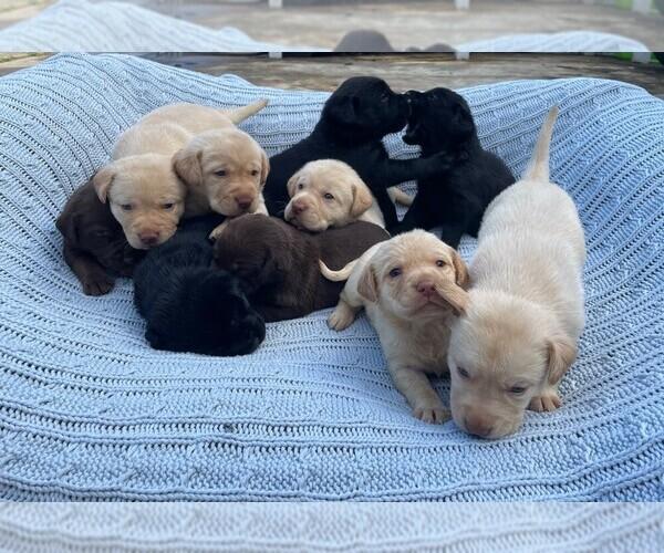 Medium Photo #2 Labrador Retriever Puppy For Sale in ARLINGTON, VA, USA