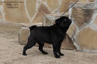 Pug Dog for Adoption in Veliko Turnovo, Veliko Turnovo Bulgaria