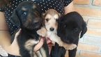 Afghan Hound Puppy For Sale in SAN YSIDRO, CA, USA